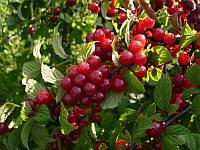 Войлочная вишня (саженцы копаные)