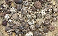 Шиитаке грибы лечебные (250 г)