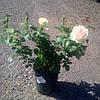 """Троянда """" Сувенір Баден Баден"""""""