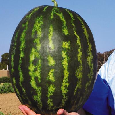 Семена арбуза Ливия F1 (1000 сем.)