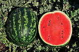 Семена арбуза Ливия F1 (1000 сем.) Clause, фото 2