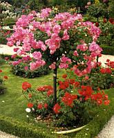 Роза в ассортименте (штамб) 101-150