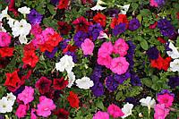 """Семена цветов """"Петуния большецветковая"""", 0.3 г (упаковка 10 пачек)"""