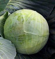 Семена капусты Кататор F1, Syngenta 2 500 семян, Для весеннего и летне-осеннего выращивания на свежий рынок