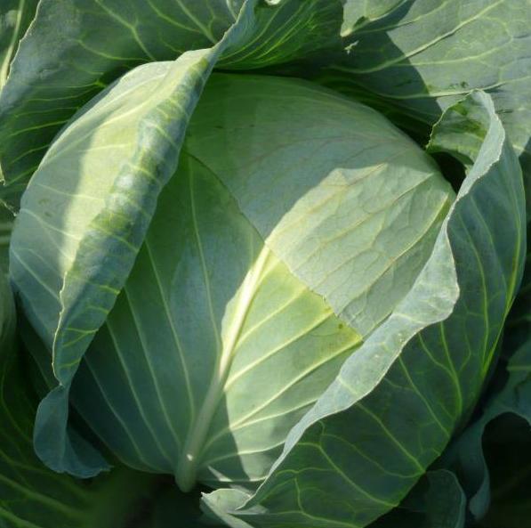 ЛИБЕРАТОР F1 -  семена капусты белокочанной, SYNGENTA