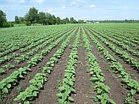 Семена подсолнечника и кукурузы. Евролайтинг, гранстар, Класика.Maïsadour и СЗР