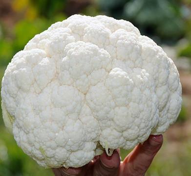 КЛАПТОН F1 -  семена капусты цветной, SYNGENTA