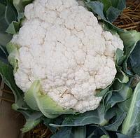 ЛЕКАНУ F1 -  семена капусты цветной, SYNGENTA, фото 1
