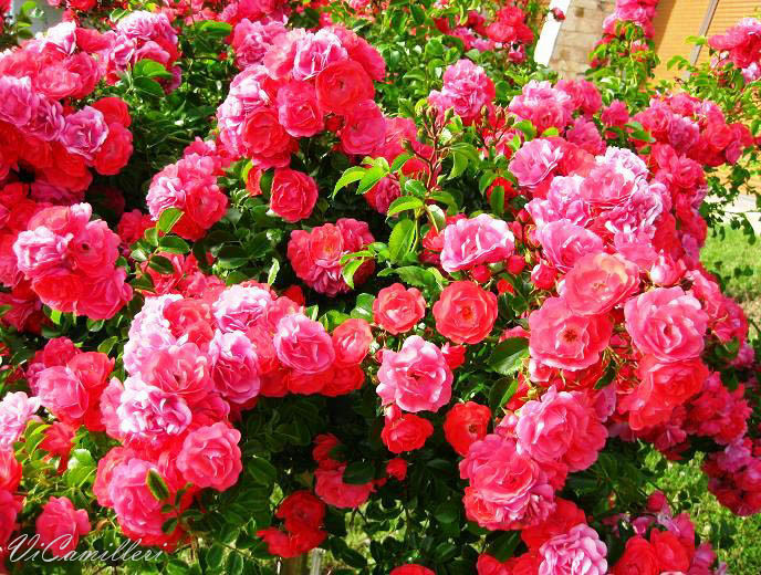Болгарская роза