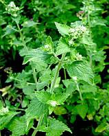 Семена медоносов, лекарственное растение мелисса, семена Мелиссы