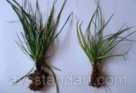 Удобрение для подкормки озимых Зерновых АКТИВНЫЙ СТАРТ. Стимулятор роста для озимых культур для снятия стресса весной.