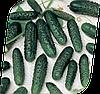 Семена огурца Маша F1 250 семян Seminis