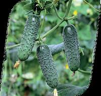 Семена огурца Мадита F1 250 семян Seminis