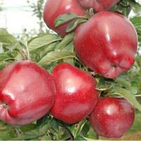 Яблоня Ред Чиф (М9)