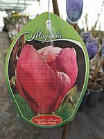 Магнолия суланжа  Рустика Рубра (Magnolia ×soulangeana Rustica Rubra )