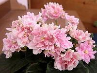 Фиалка Розовый Жемчуг детка