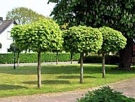Клен остролистный Globosum на штамбе h150 (ком)