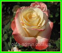 Роза чайно-гибридная сорт Белла Перла ВELLE PERLE - кремово розовая саженцы двухлетние / цветы