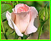 Роза чайно гибридная Нобелес ( саженцы )