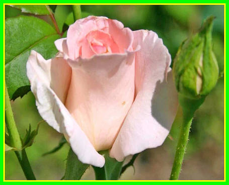 Роза чайно гибридная Нобелес ( саженцы ), фото 2