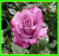 Роза чайно-гибридная Перпл хейз роза
