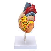 Анатомическая человеческая жизнь Размер Сердце Модель-Медицинская Сердечно-сосудистая анатомия