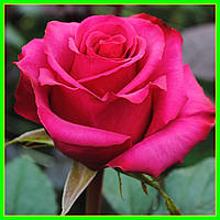 Роза чайно-гибридная Равель (саженцы)