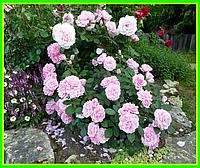 Роза парковая «Прэри Джой» ( саженцы )