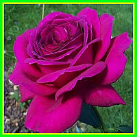 Роза чайно-гибридная Юриандра (саженцы)
