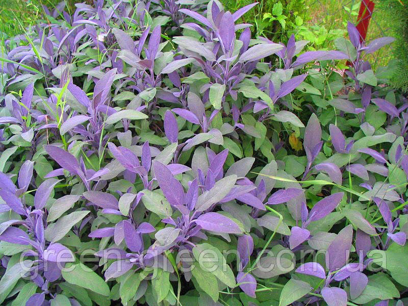 Шалфей мускатный Purple Beauty