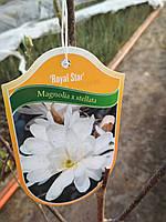 Магнолия звездчатая Роял Стар (Magnolia stellata Royal Star)