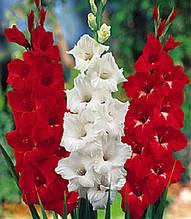 Набор гладиолусов Красно-белый 7 луковиц/уп.