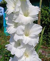 Гладиолус Bangladesh (Бангладеш) 3 шт./уп., крупноцветковый