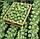 АБАКУС F1 -  семена капусты брюссельской, SYNGENTA, фото 3