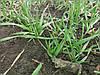 Удобрение для внекорневой подкормки озимых зерновых РЕАКОМ СР ЗЕРНО. Листовая подкормка озимых зерновых.