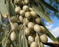 Семена дикой маслина (лох серебристый) косточка для выращивания саженцев, насіння