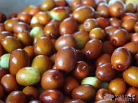 Зизифус семена для выращивания саженцев, унаби китайский морозостойкий финик, жожоба