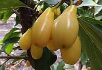 Кизил желтоплодный семена для выращивания саженцев, дерен насіння кізіла