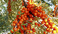 Облепиха семена для выращивания саженцев обліпиха насіння