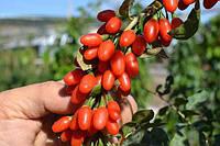 Ягода годжи семена (10 штук) (дереза обыкновенная) для выращивания саженцев, насіння годжі на саджанці