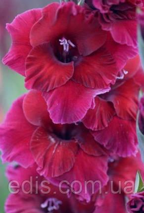 Гладіолус Plum Tart 3 шт./уп., великоквітковий, фото 2