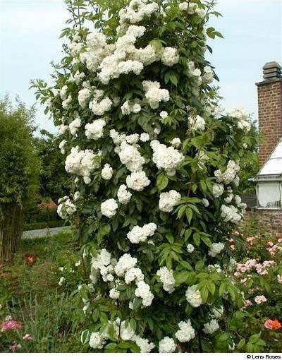 Роза Ватерлоо (Rosa rugosa Waterloo) Шраб