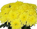 Хризантема срезочная ЗЕМБЛА лимон, фото 2