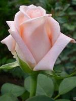 Саженцы Роза Engagement (Ангажемент)
