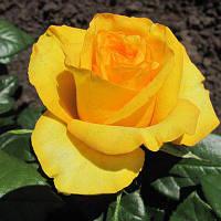 Саженцы Роза Kerio New