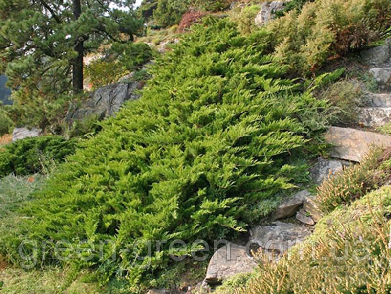 Можжевельник казацкий Tamariscifolia Р9