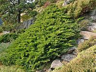 Можжевельник казацкий Tamariscifolia С2