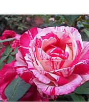 Саженцы Роза Soutine