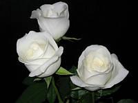Саженцы Роза Боинг