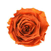 Долгосвежая роза - бутон Огненный янтарь